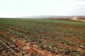 pasėlis Izraelyje, Lietuvos daržovių augintojų asociacijos nuotr.